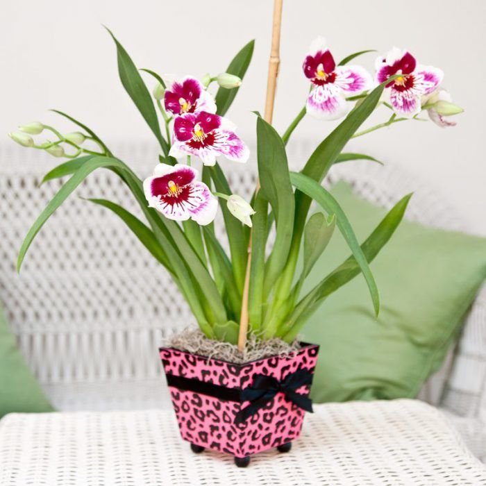 Орхидея Мильтония