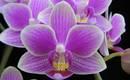 Орхидея из супермаркета. Как ее правильно выращивать?