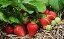 Почему клубника цветет, а ягод нет? Причины и решения