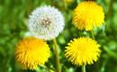 5 обыкновенных сорняков в саду и как от них избавиться