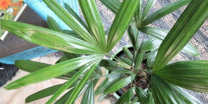 Источник фото: atriumplants.co.za