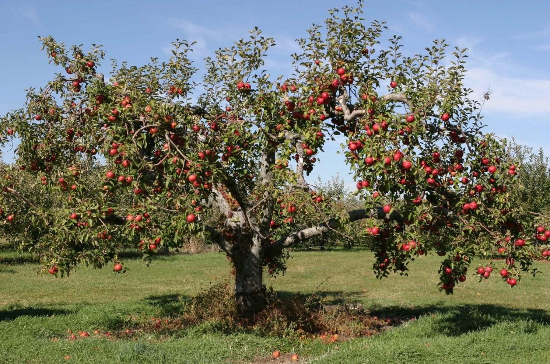4247783-apple-tree