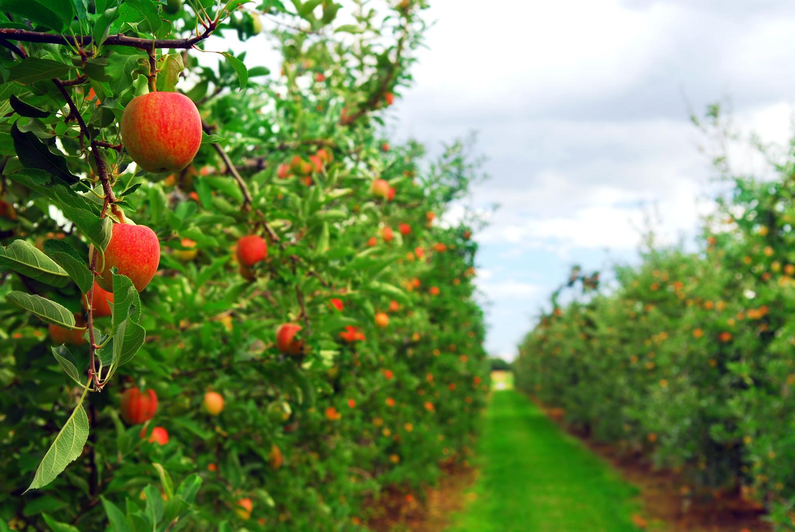 photodune-196400-apple-orchard-l