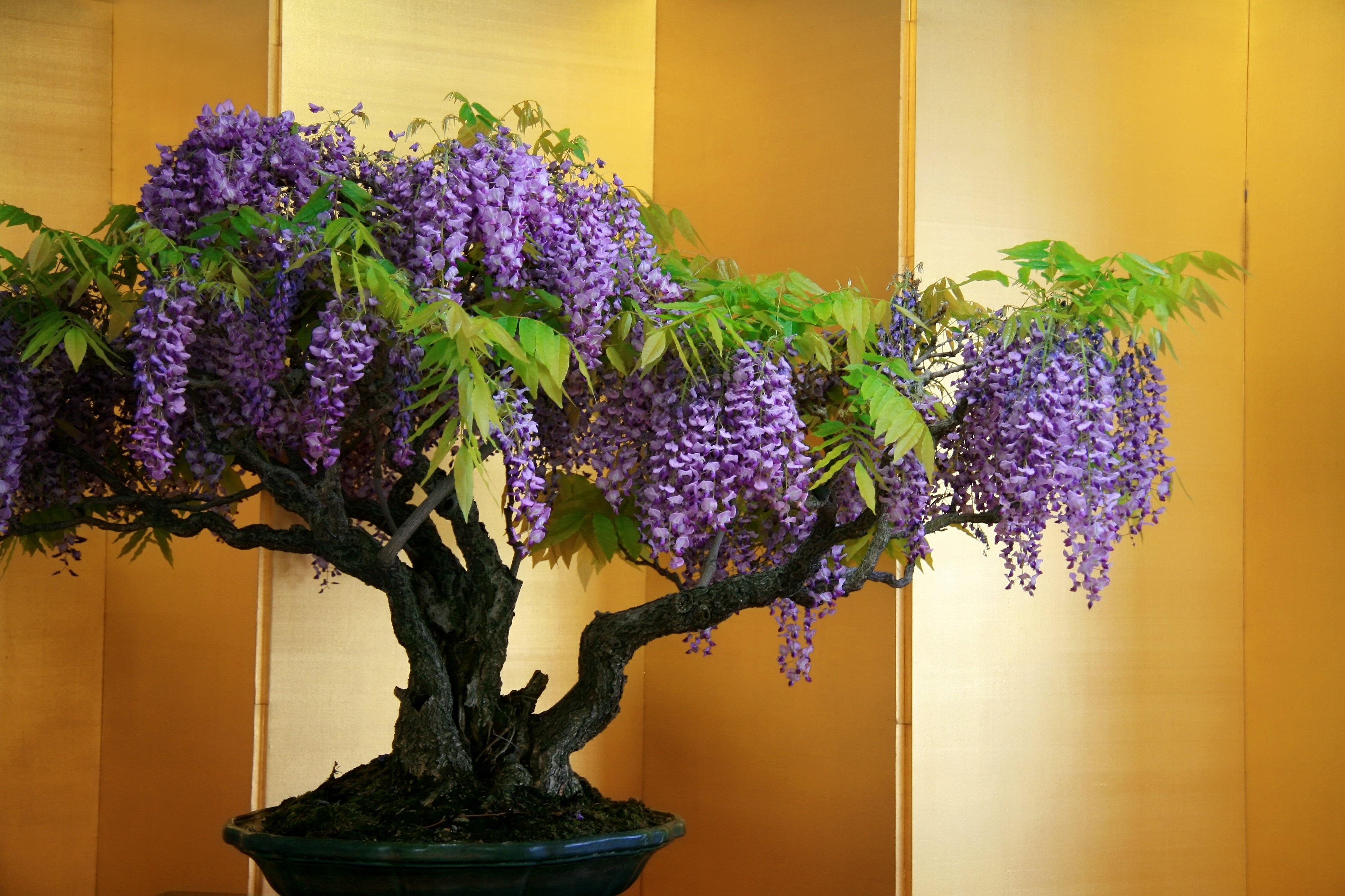wisteria-bonsai-tree