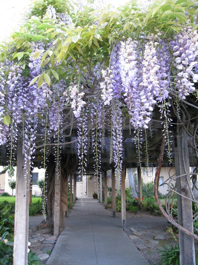 wisteria-blooming