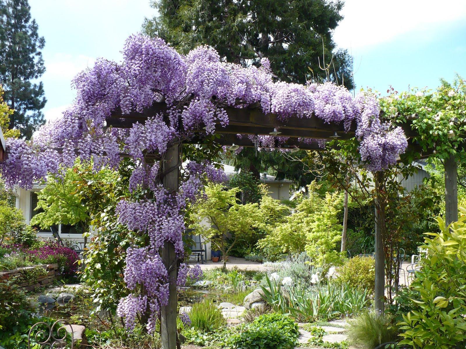 wisteria-sinensis-2