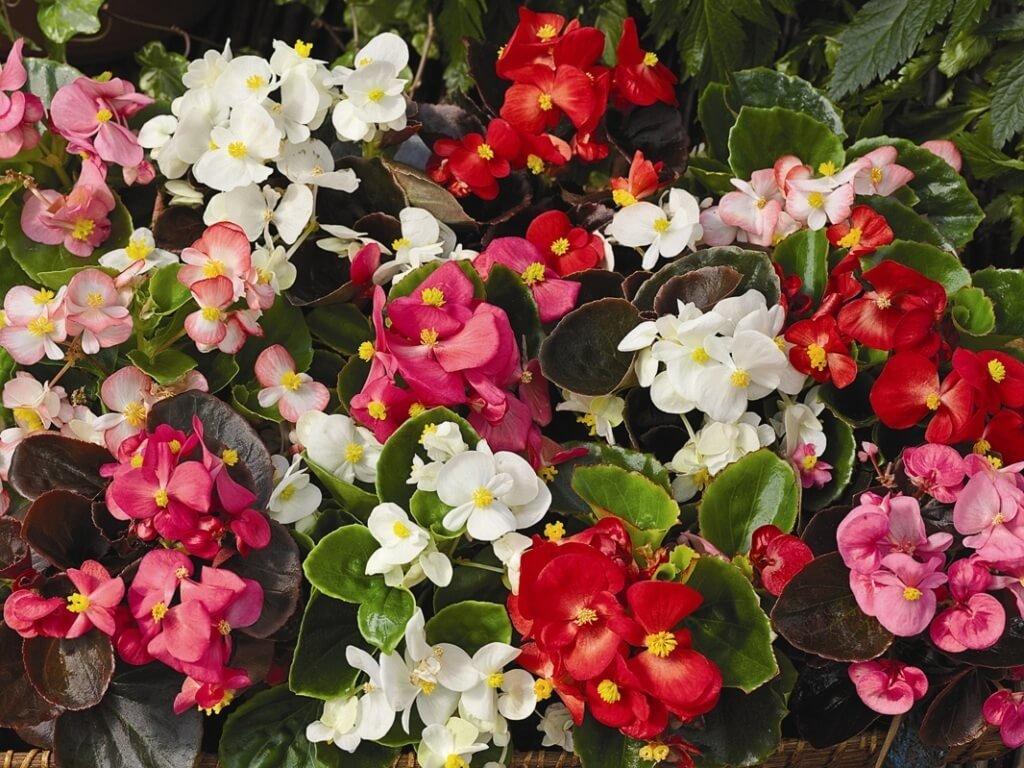 Много цветков бегонии в правильном освещении