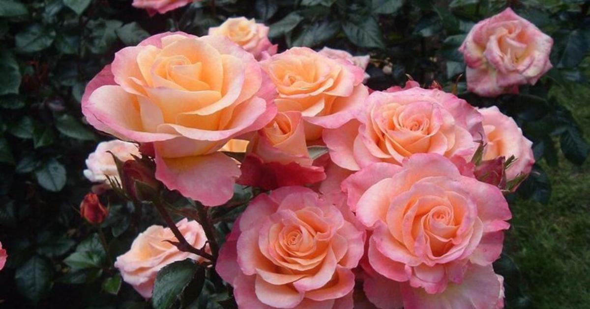 Роза стромболи описание