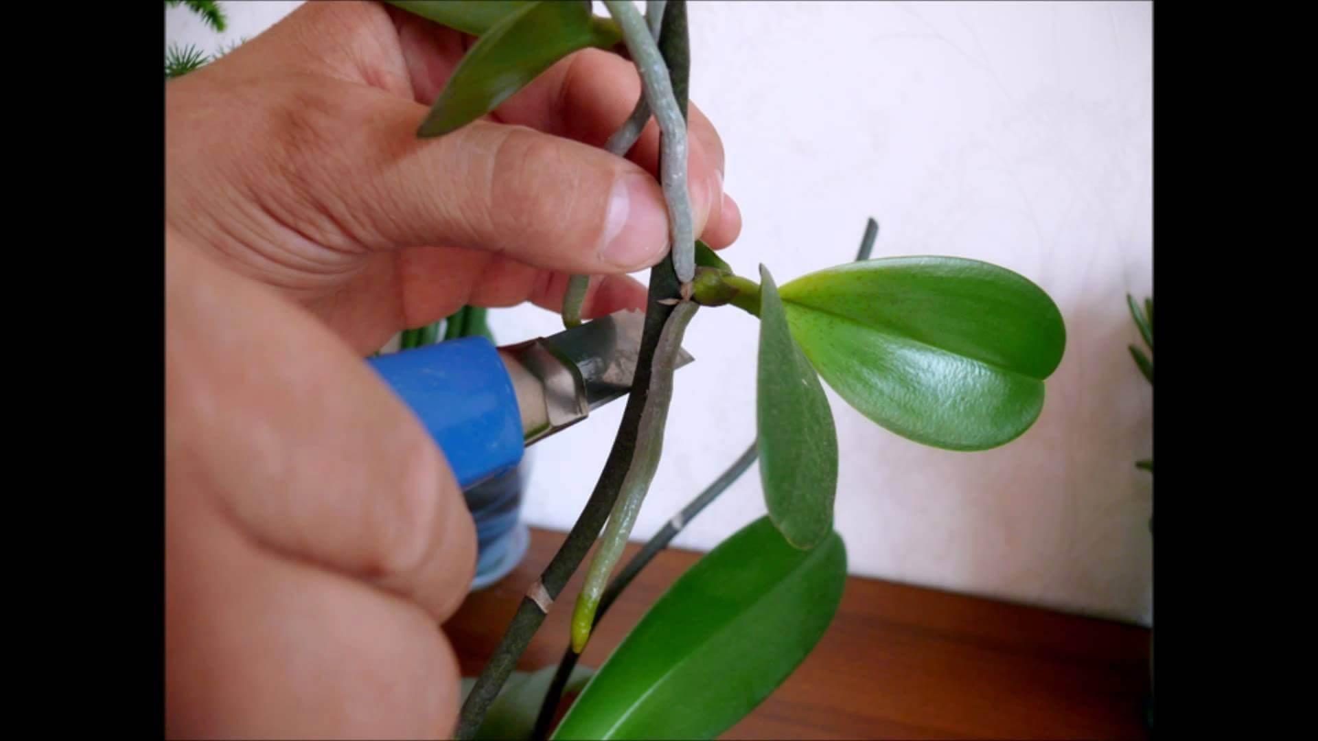 Удаление чешуи с орхидеи