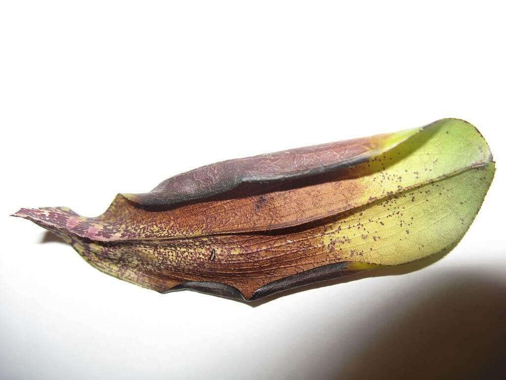 Засохший лист орхидеи фаленопсис, вследствии неправильного полива