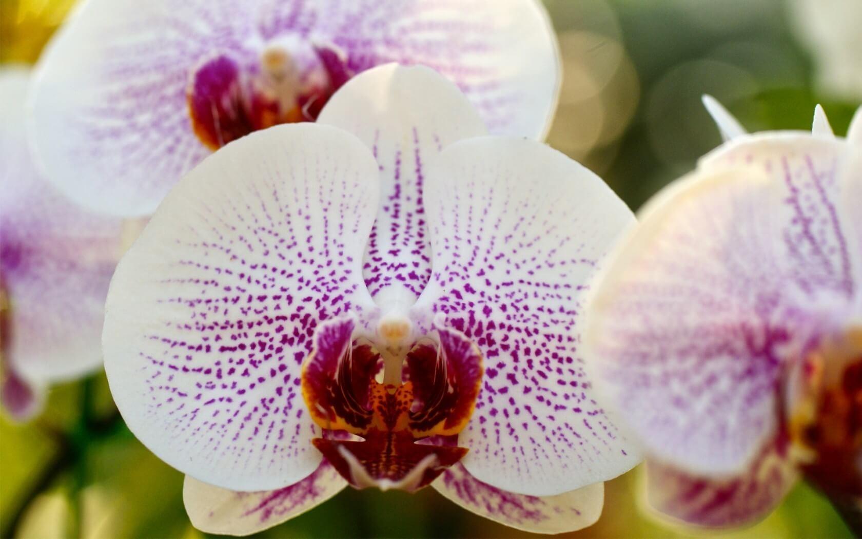 Красивая и здоровая орхидея Фаленопсис