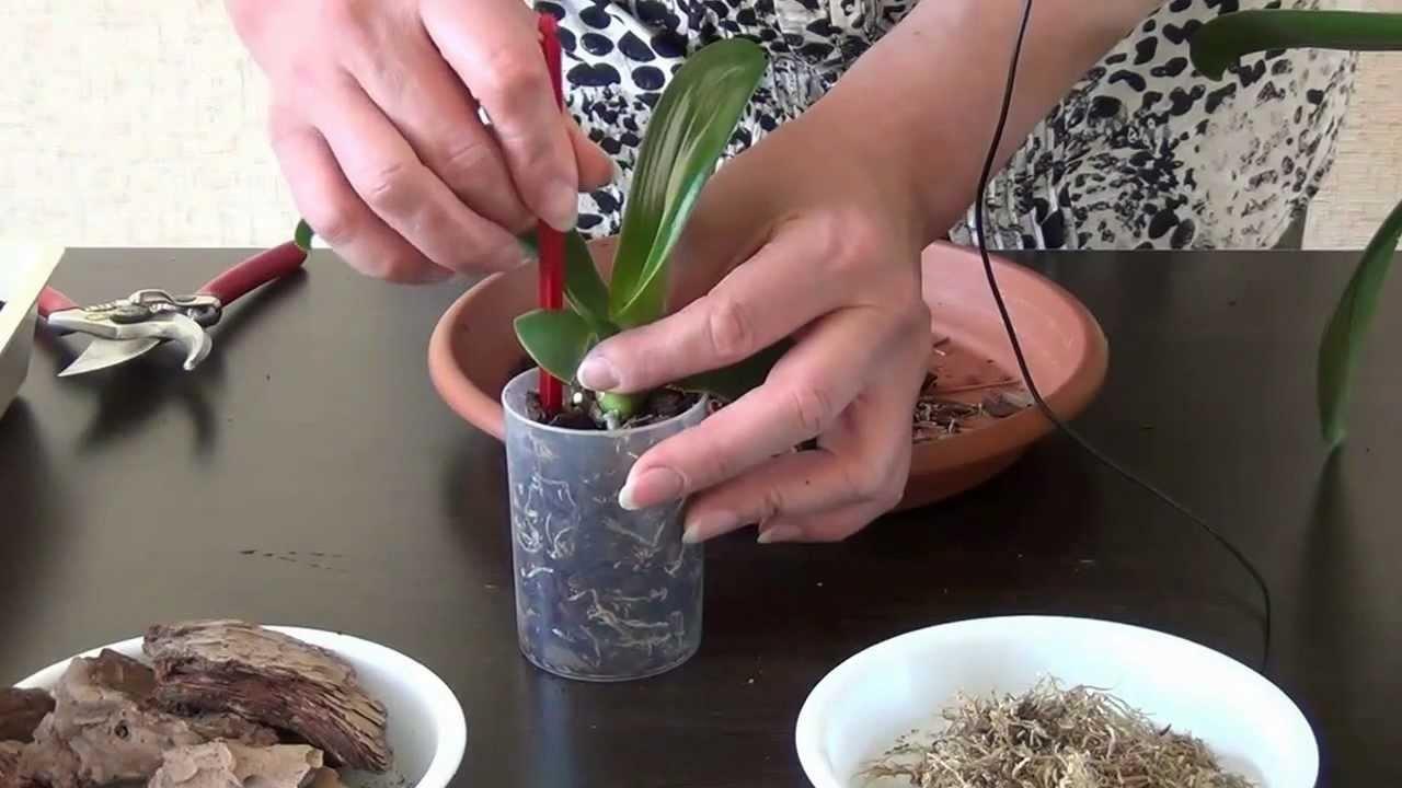 Процесс высаживания орхидеи в субстрат
