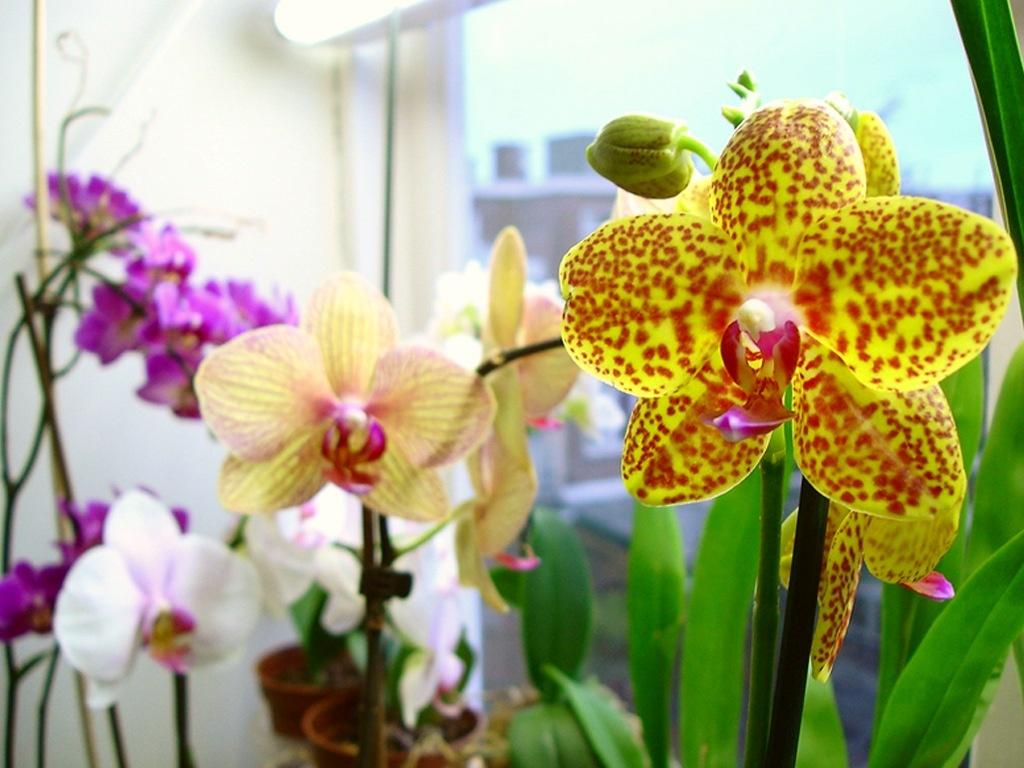 Фото орхидеи Фаленопсис с оттенками различных цветов
