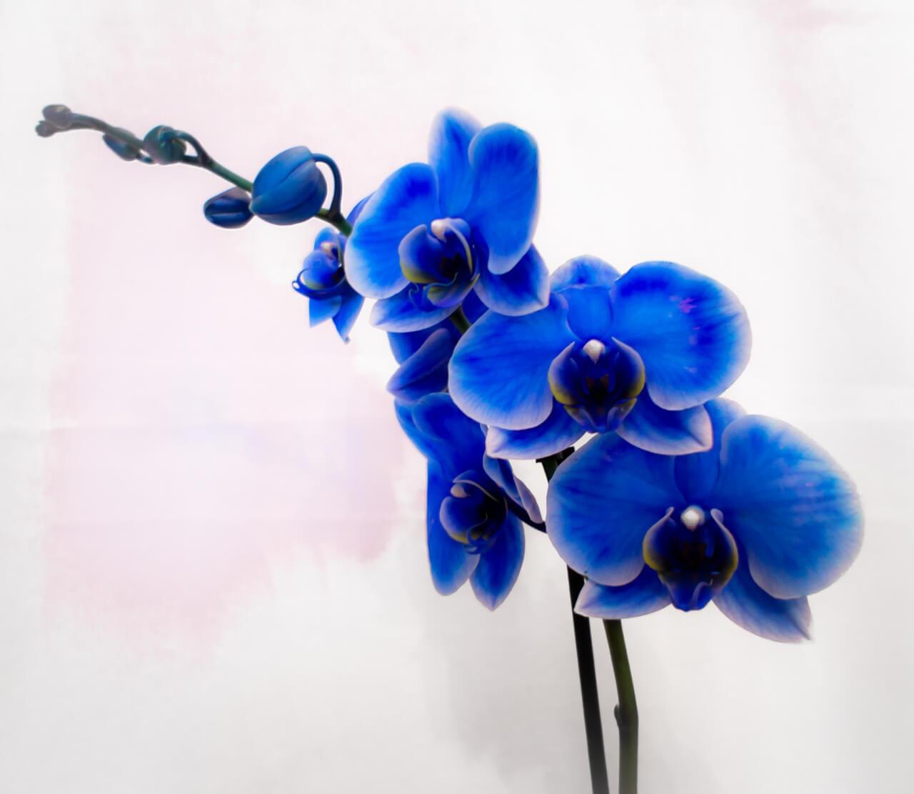 Фото голубой орхидеи Фаленопсис