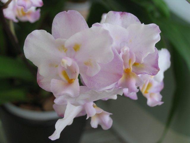 Фаленопсис сакура - фото