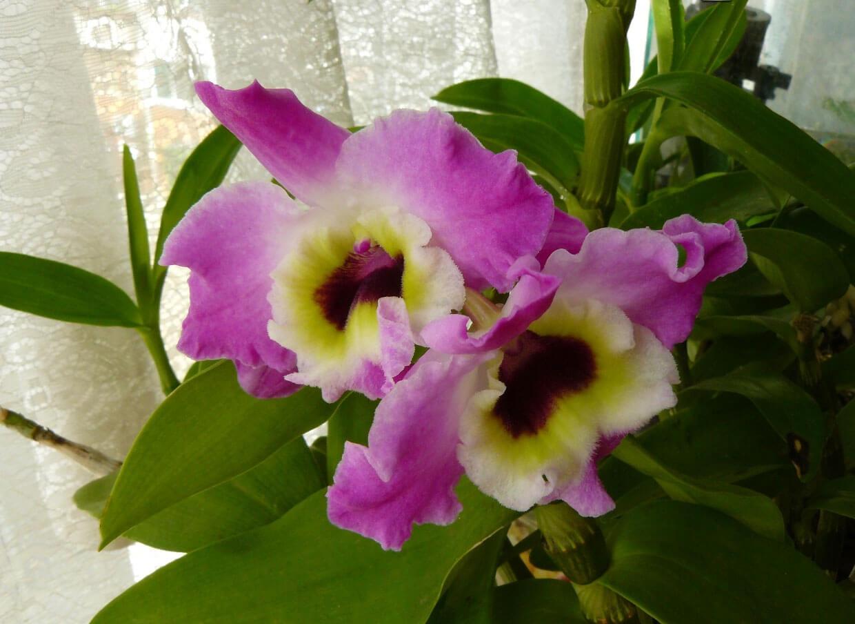 Фото орхидеи вида дендробиум