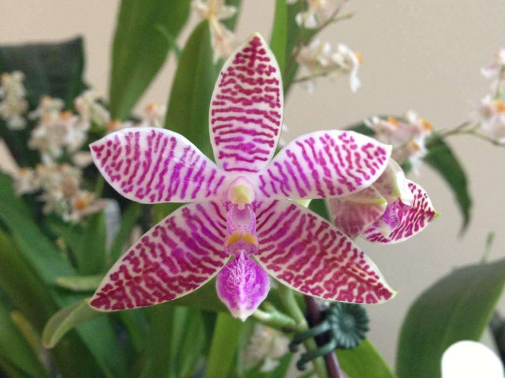 Фото орхидеи Людеманна