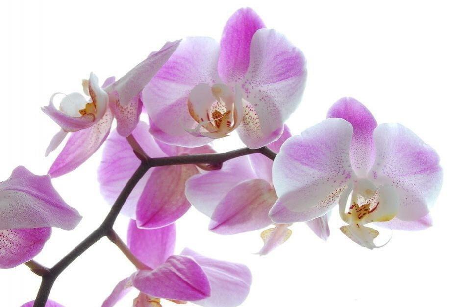 Фото розового Фаленопсиса