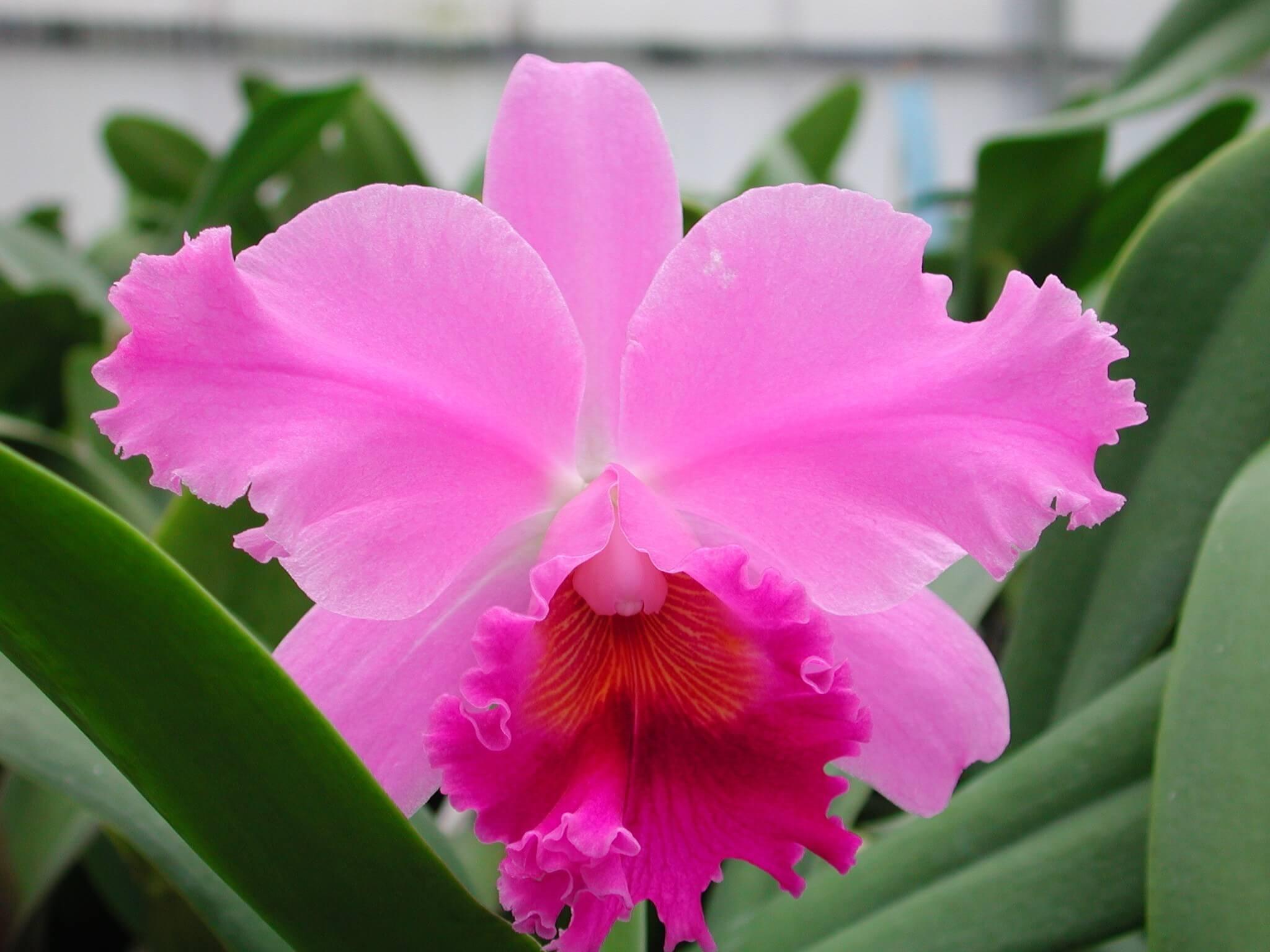 Фото орхидеи Каттлея губастая
