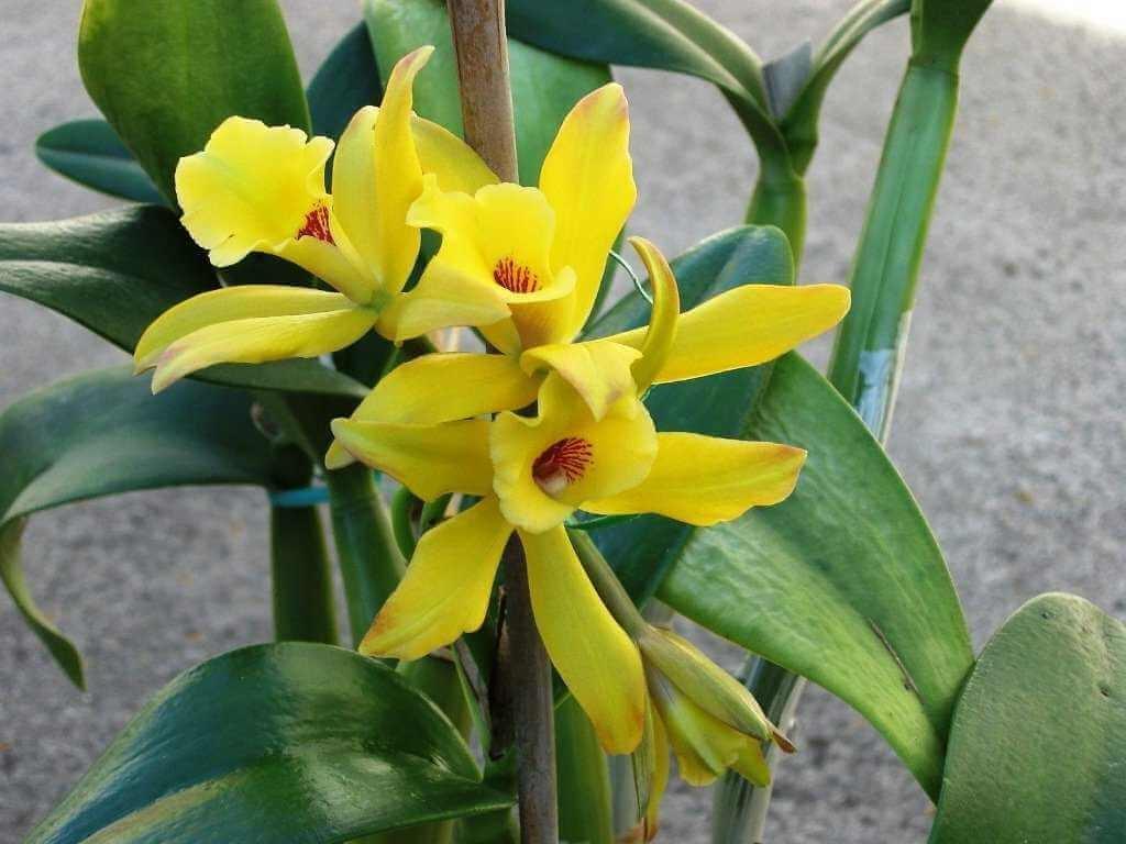 Орхидея из семейства ванильных