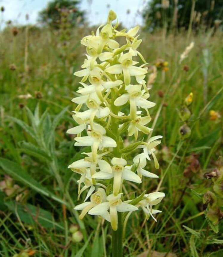 Фото редкого вида орхидеи
