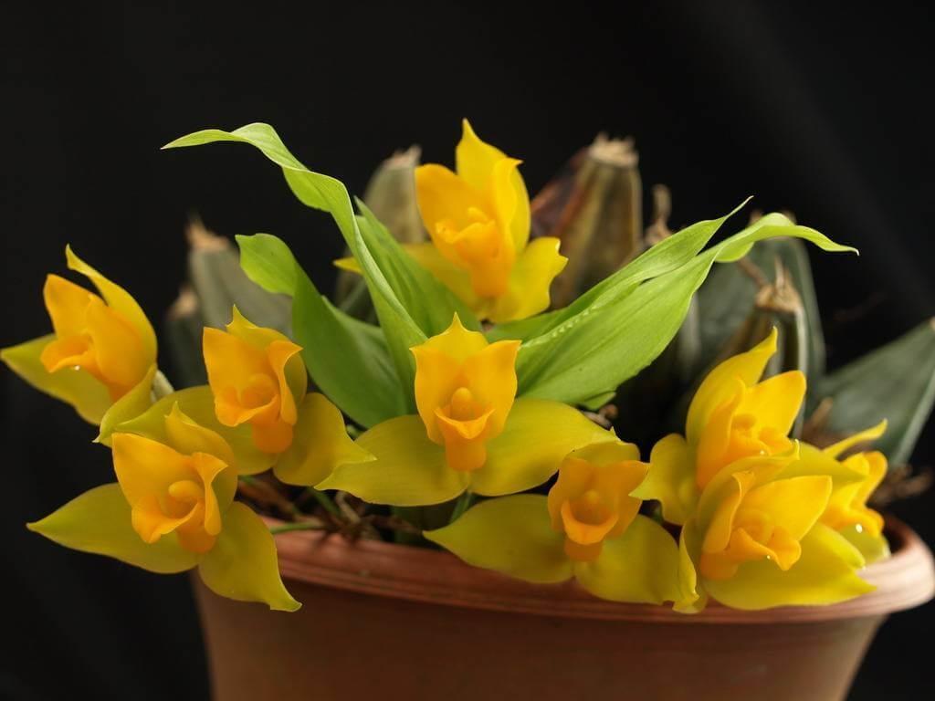 Фото орхидеи Ликаста душистая