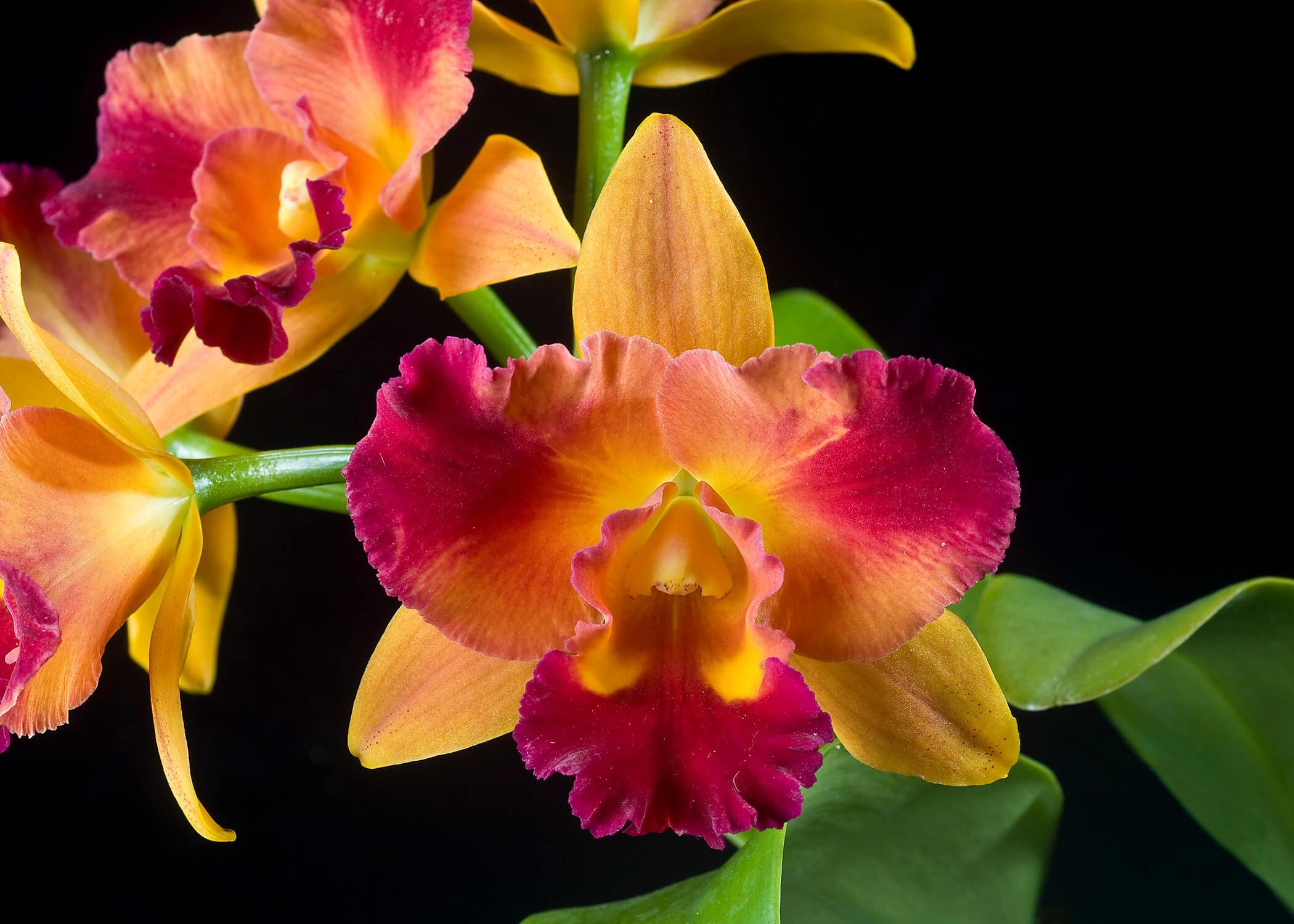Фото орхидеи Потинара