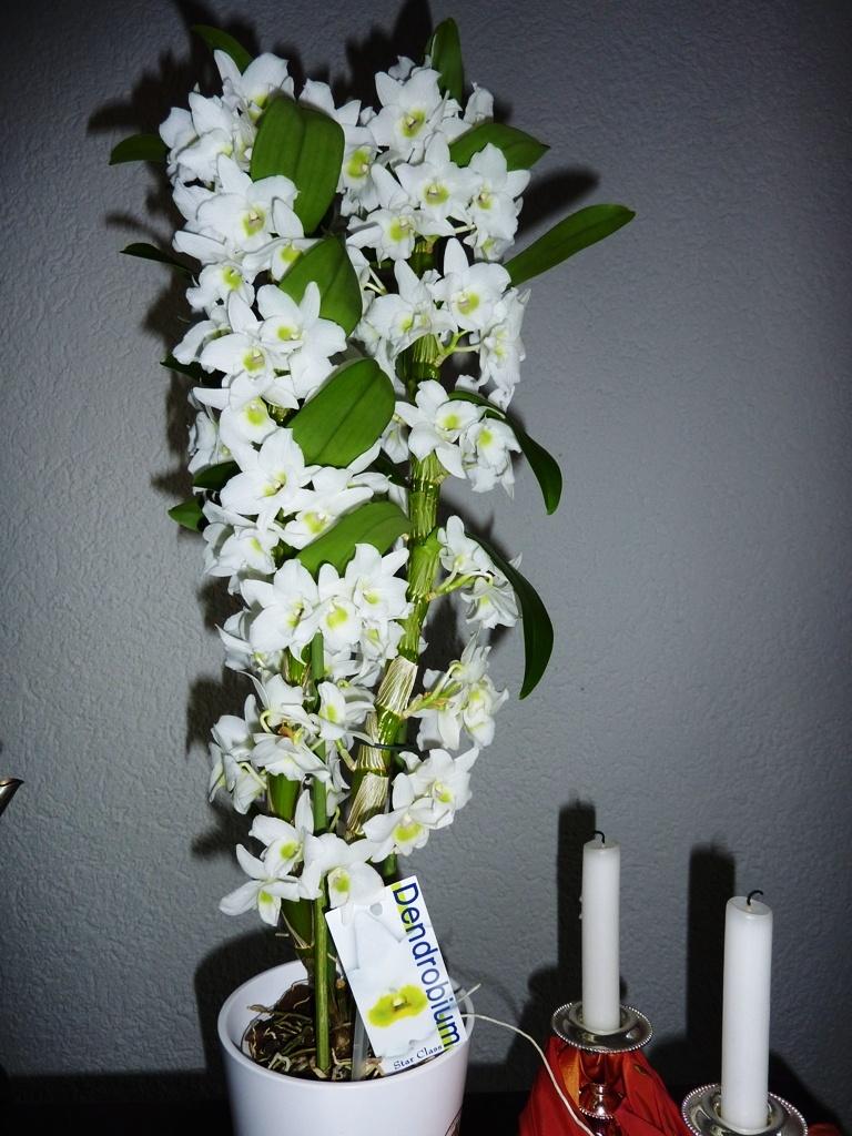 Фото орхидеи Дендродиум нобиле