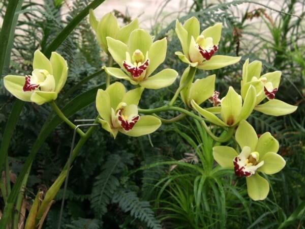 Фото цветка Цимбидиум алоелистный