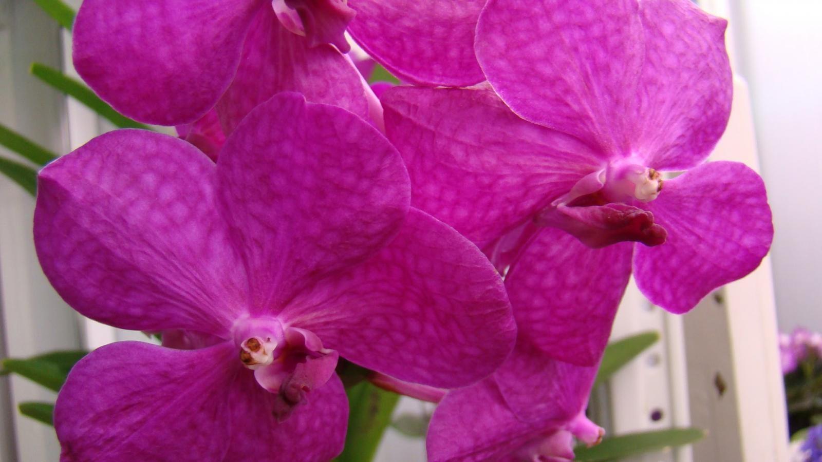 Цветок орхидея ванда - фото