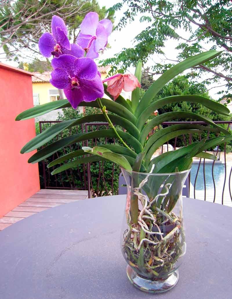 Орхидея Ванда, за которой правильно ухаживают