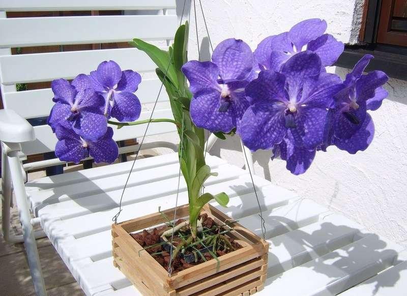 Орхидея ротшильда на белом стуле