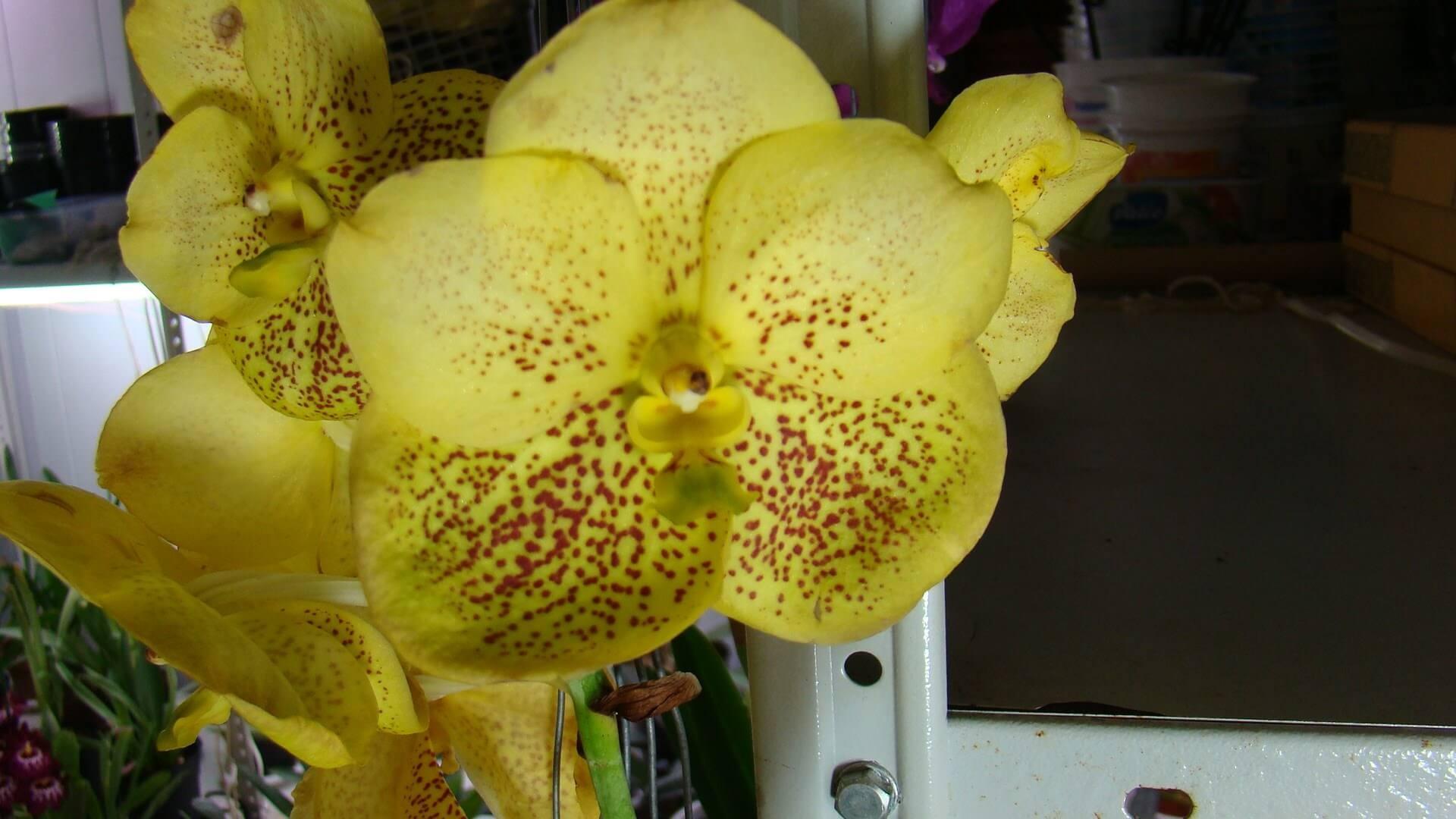 Орхидея Ванда желтого цвета после полива