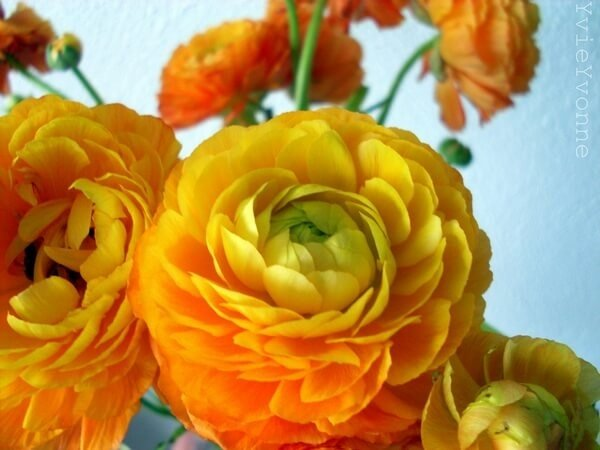 Ранункулюс азиатский желто-оранжевого цвета