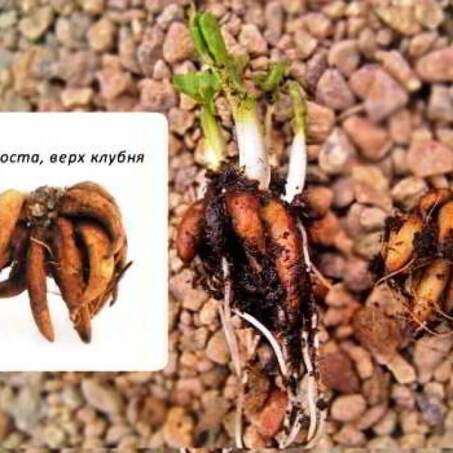 Фото с правилами посадки ранункулюса