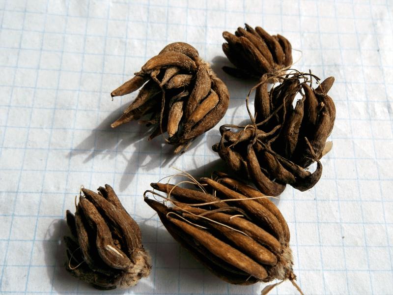 Фото клубнелуковиц ранункулюса