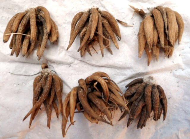 Фото посадки ранункулюса клубнями - 2