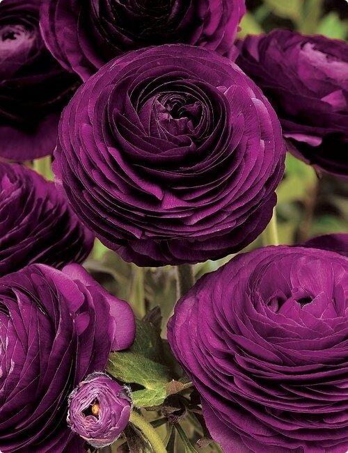 Красивые пионовидные лютики фиолетового цвета