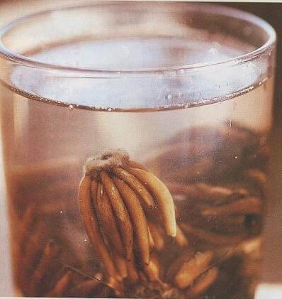Фото посадки ранункулюса клубнями в воду