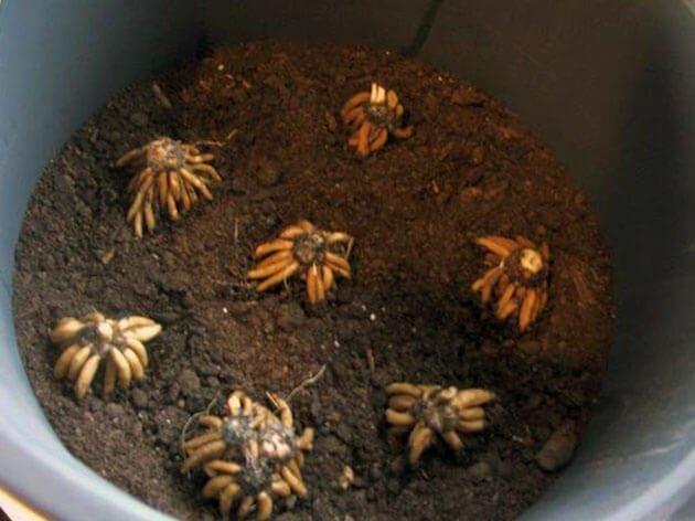 Фото посадки ранункулюса клубнями