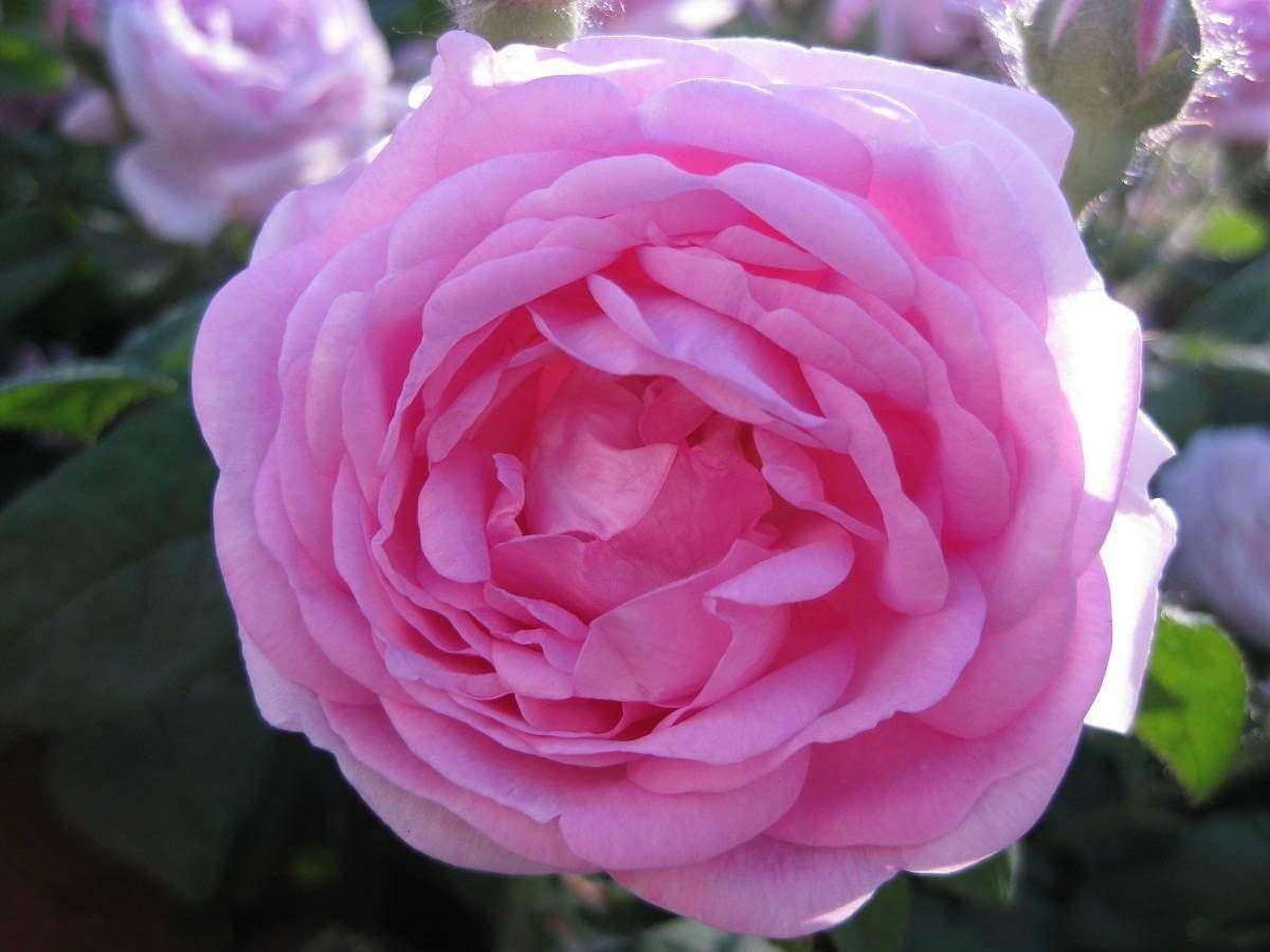 Фото крупным планом чайной розы летом