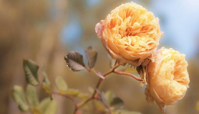 Фото чайной розы, готовящейся к зиме
