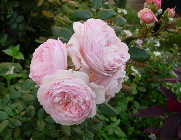 Фото чайной розы сорта Geoff Hamilton