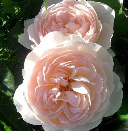 Фото чайной розы сорта Gentle Germione