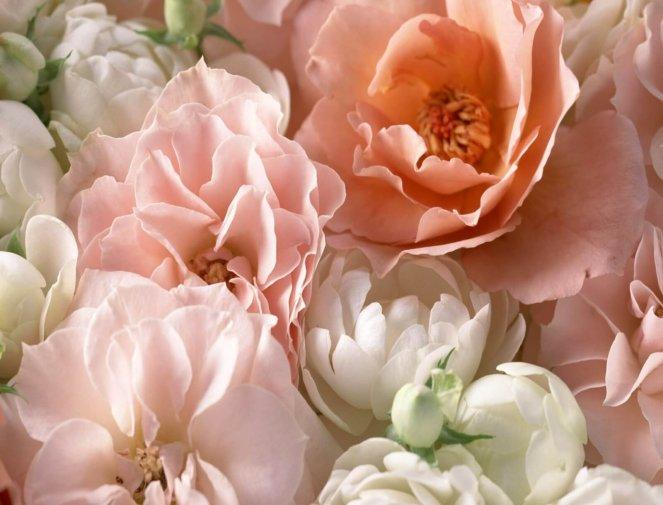 Фото чайной розы, которую правильно и своевременно подкармливали