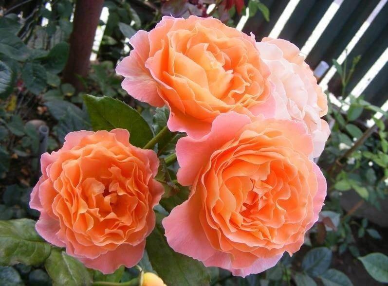 Фото чайной розы сорта Rosemary Harkness