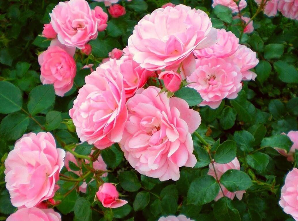 Фото растущей чайной розы нежно розового цвета