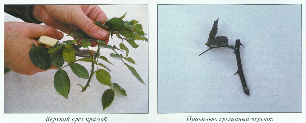 Фото чайной розы, которую готовят для размножения