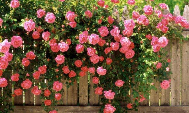Фото появившихся цветков на кусте чайной розы после обрезки