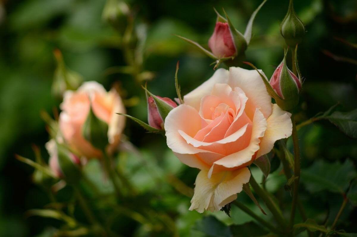 Фото чайной розы, за которой правильно ухаживали